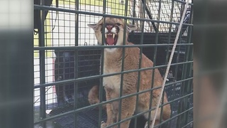 Mountain lion attacks dogs near Ketchum - Video