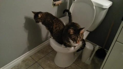 Pair of cats successfully use human toilet together