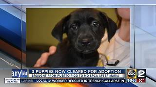 Puppies rescued from Puerto Rico available for adoption in Baltimore - Video