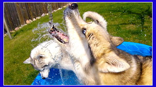 Huskies beyond excited for pool time! - Video