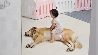 Gentle Golden Retriever tolerates playful baby girl