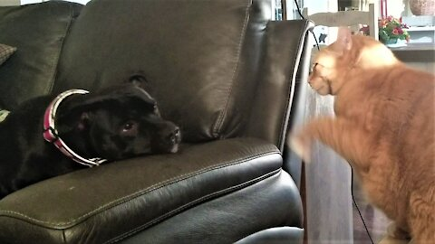 Rescued bull terrier attempts to befriend grumpy cat
