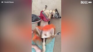 Dog gets vacuum cleaner massage