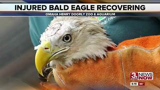 Henry Doorly Zoo: Injured bald eagle recovering well after surgery - Video