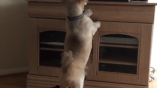 Cute Lhasa Apso jumps at the TV when he sees another dog - Video