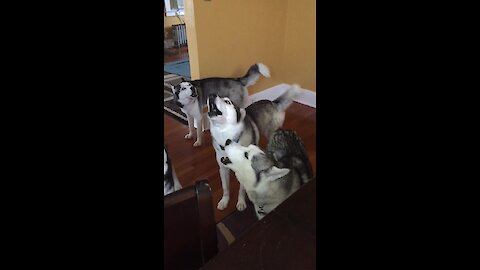 Pack of huskies all how together in unison