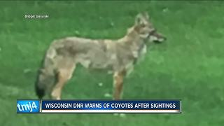 Wisconsin DNR warns pet owners about coyotes roaming neighborhoods - Video