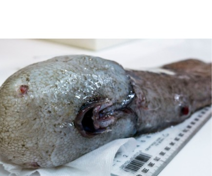 New Fish Species Found in Deep Sea East of Australia