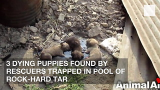 3 Dying Puppies Found by Rescuers Trapped in Pool of Rock-Hard Tar - Video