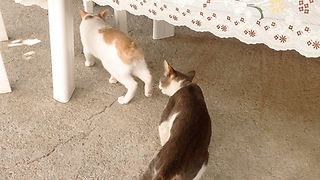 Unsuspected Kitten Gets Attacked By A Wild Cat  - Video