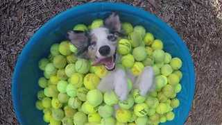Ecstatic Dog Chills in Container Full of Tennis Balls - Video