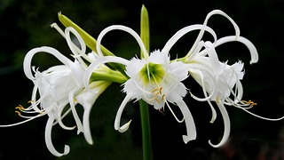 Spider Lily proves to be cure for cancer