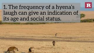5 Facts About Hyenas | Rare Animals - Video