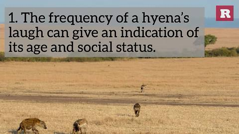 5 Facts About Hyenas   Rare Animals