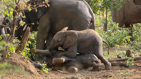 Adorable baby elephants caught play-fighting as their parents look on