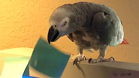 Parrot lends owner a helpful beak at the office