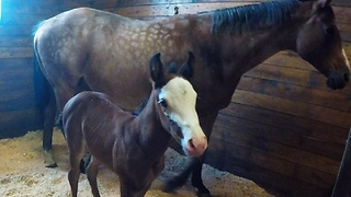 Adorable Newborn Foal Nurses From Its Mother - Video