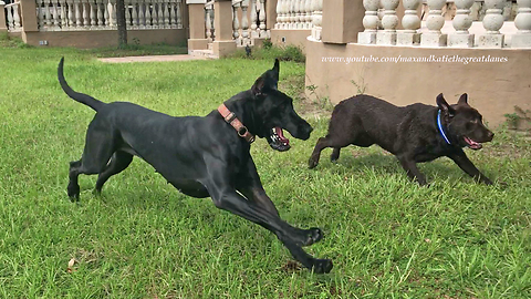 Great Dane runs zoomies with Labrador friends