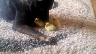 German Shepherd helps raise newborn baby ducks - Video