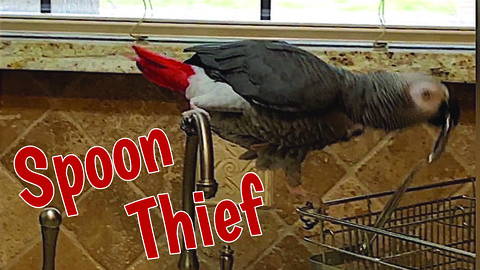 Einstein the Talking Parrot is a spoon thief!