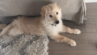 Fluffy puppy gets scared by computer sound - Video