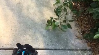 Funny french bulldog confused by bushes.... - Video