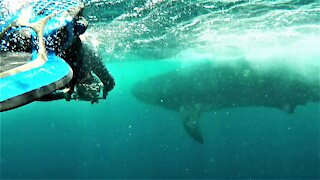 Wildlife photographer swims alongside the world's largest shark