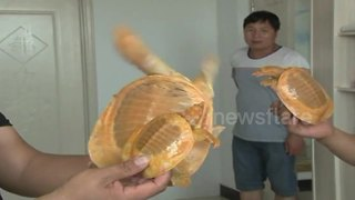 Villager catches 'golden' turtles in central China - Video