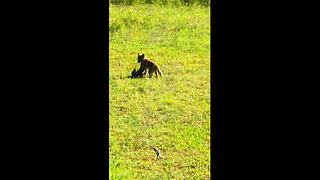 These baby foxes playing is truly adorable - Video