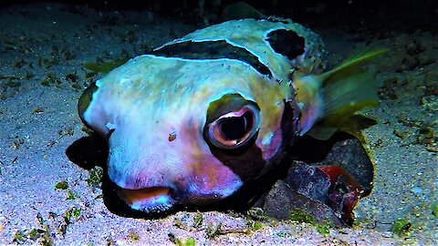 Bizarre porcupine fish's face looks disturbingly human
