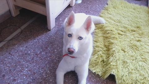 Sympathetic Husky Howling to support his Home Alone fellow