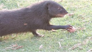 Marsh Mongoose Makes Off With Eggs - Video