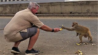 Tourist shares bananas with one armed wild monkey in India
