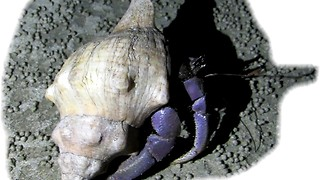 Purple crab found on Thailand beach - Video