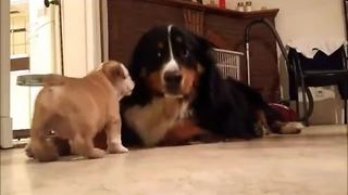 Puppy introduced to big dog, instant friendship occurs - Video