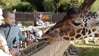 Toddler feeds Giraffe at the Zoo!  - Video