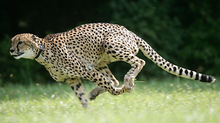 Sarah The Cheetah Becomes The Official Fastest Animal On Land - Video