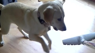 Dog won't let owner use vacuum cleaner - Video