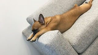 French Bulldog Sleeps In A Hilariously Awkward Position