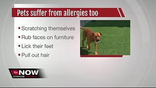 Allergy season peaking in Bay area for pets too - Video