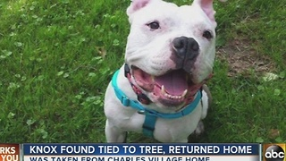 Knox the pitbull found safe - Video