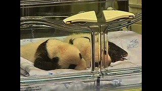 Twin Pandas Born At Madrid Zoo - Video