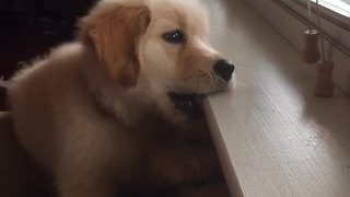 Puppy can't figure out how blinds work - Video