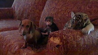 Tiger Cub, Baby Baboon & Sausage Dog Friends - Video