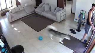 Husky Can't Quite Figure Out Screen Doors - Video