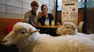 Sheep Cafe in South Korea - Video
