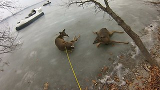 Real Life Bambis Rescued From Frozen Lake - Video