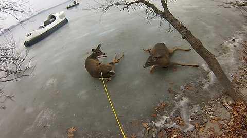 Real Life Bambis Rescued From Frozen Lake