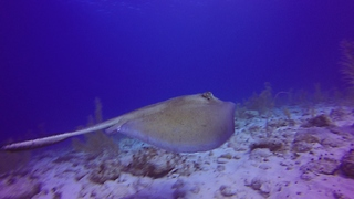 Stingray startled after encountering scuba diver