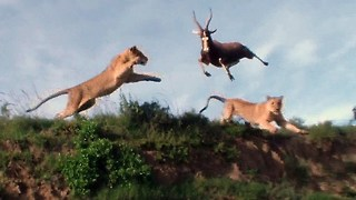 Leaping Lion Catches Antelope In Mid-Air Attack - Video